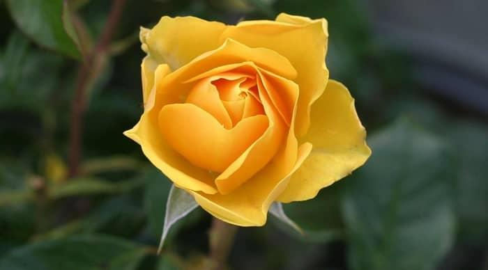Banho poderoso com rosas amarelas