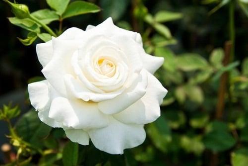 Banho de rosa branca