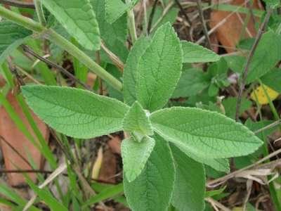Folha da planta