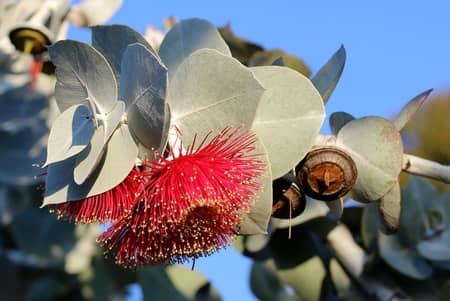 Simpatia do eucalipto para acabar com o ronco