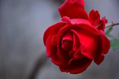 Macumba de São Cipriano com rosas