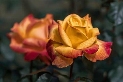 Banho de rosas para dinheiro