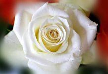 Sentir cheiro de rosas