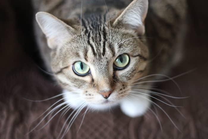 O que significa quando um gato te escolheu? Mensagem espiritual!